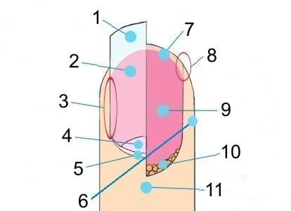 Budowa paznokcia 1