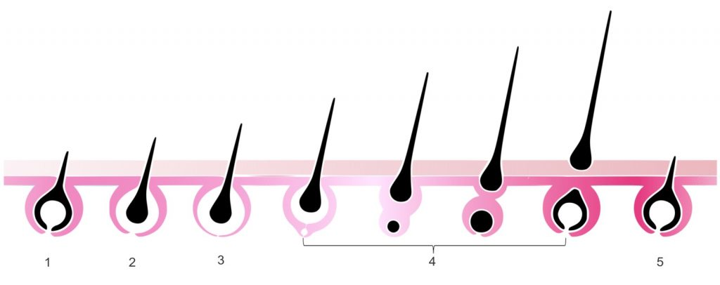 Cykl zycia wlosa 2
