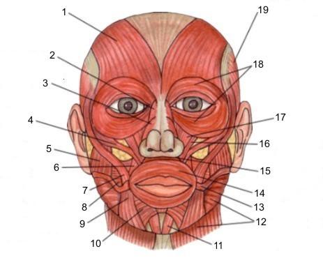 miesnie twarzy 1